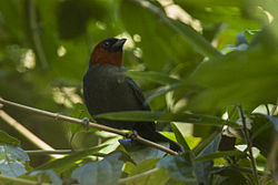 Chestnut-headed Tanager - Itatiaia - Brazil MG 0188 (22623309433).jpg