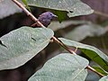 Chestnut-winged Babbler (13893439380).jpg