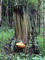Chicken of the Wood Fungi on tree stump - geograph.org.uk - 1323455.jpg