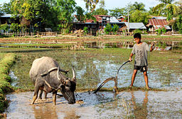 Child and ox ploughing, Laos (1)