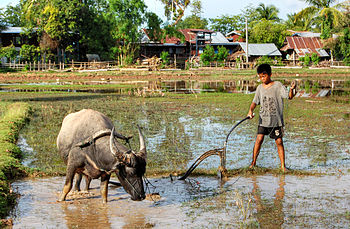 English: A child ploughing the land with a wat...
