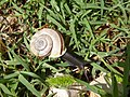 Chilostoma cingulatum Cavalo 04.jpg