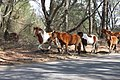 Chincoteague Ponys.jpg