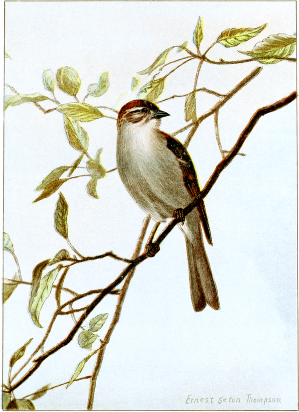 Chipping Sparrow-Bird-Life-0097-142.png