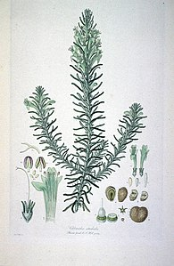Chloanthes stoechadis (Illustrationes Florae Novae Hollandiae plate 4).jpg
