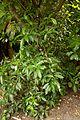 Christchurch Botanic Gardens, New Zealand section, Pseudopanax arboreus, 2016-02-04.jpg