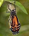 Chrysalis to Butterfly (-2 of 5) (7026077961).jpg