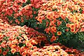 Chrysanthemum Camina 4zz.jpg