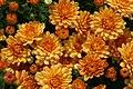 Chrysanthemum Warm Ursula 1zz.jpg