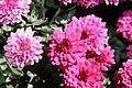Chrysanthemum x Beth 0zz.jpg