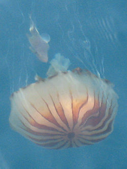 Chrysaora hysoscella.JPG
