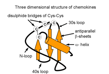 Three dimensional structure of chemokines