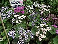 Cineraria from Lalbagh flower show Aug 2013 8215.JPG