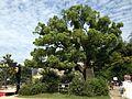 Cinnamomum camphora in Osaka Castle.JPG