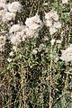 Cirsium arvense - Bliesen - Bauernstall - 2019-09-02, 6.jpg