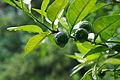Citrus sudachi.jpg