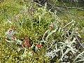 Cladonia sp..JPG