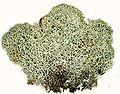 Cladonia stellaris-5.jpg