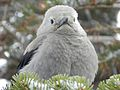 Clark's Nutcracker at Crater Lake 2015.jpg