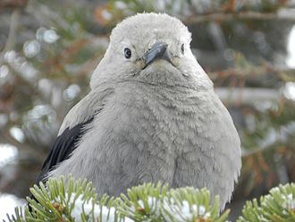 Clark's nutcracker - A Clark's Nutcracker nestled on a branch at Crater Lake National Park in Oregon.
