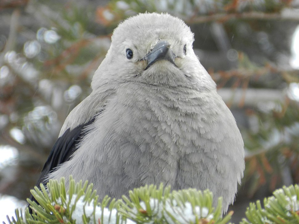 Clark's Nutcracker at Crater Lake 2015