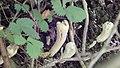 Clavariadelphus pistillaris 10.jpg