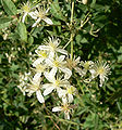 Clematis ligusticifolia 7.jpg
