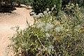 Clematis ligusticifolia var. ligusticifolia kz01.jpg