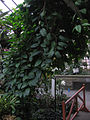 Clerodendrum thomsoniae - JBM.jpg