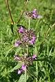 Clinopodium vulgare - img 13647.jpg