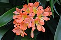 Clivia miniata orange-flowered form Flowers.JPG