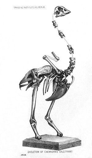 New Zealand goose - C. gracilis