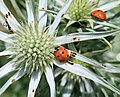 Coccinella septempunctata - Flickr - S. Rae (2).jpg