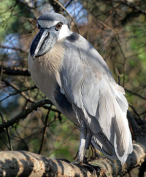 Boat-billed heron - Image: Cochlearius cochlearia PCCA20071227 8443B