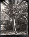 Coconut Tree (1), photograph by Brother Bertram.jpg