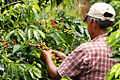 Coffee farmer - triangulo del café.jpg
