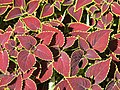 Coleus near the hotel New-York at Disneyland Paris (close-up).jpg