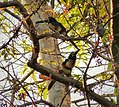 Collared Aracari. Pteroglossus torquatus - Flickr - gailhampshire.jpg