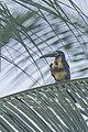 Collared aracari - Parque Nacional Natural Tayrona 13.jpg