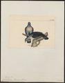 Columba trocaz - 1820-1860 - Print - Iconographia Zoologica - Special Collections University of Amsterdam - UBA01 IZ15600183.tif