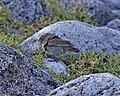 Common Cactus-finch - female (Geospiza scandens) (20047280963).jpg