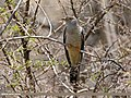 Common Cuckoo (Cuculus canorus) (28658067115).jpg