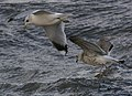 Common Gulls (Larus canus) - geograph.org.uk - 668043.jpg