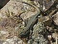 Common Wall Lizard (Podarcis muralis) (14190544766).jpg