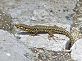 Common Wall Lizard (Podarcis muralis) male (14530425944).jpg