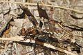 Common Whitetail - Plathemis lydia, Leesylvania State Park - 5705154564.jpg