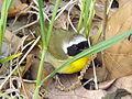 Common Yellowthroat Marais des Cygnes National Wildlife Refuge (9044042558).jpg