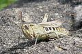 Common field grasshopper 1.jpg