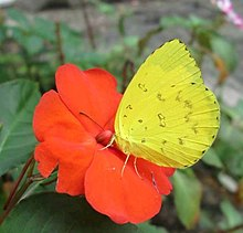 Common grass yellow UN.jpg