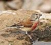 Common linnet (Linaria cannabina mediterranea) male.jpg